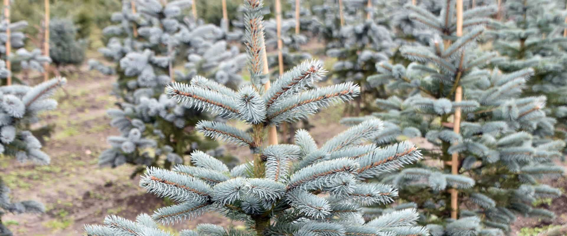 Pictures of blue spruce Colorado Blue Spruce Images, Stock Photos Vectors Shutterstock